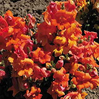 Twinny Bronze Shades Snapdragon Seeds