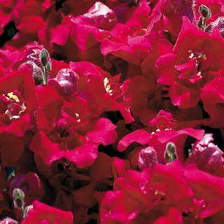 Twinny Violet Snapdragon Seeds