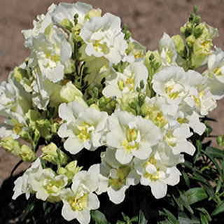 Twinny White Snapdragon Seeds