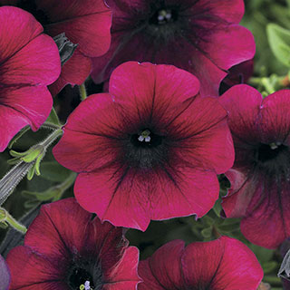 Easy Wave™ Burgundy Velour Petunia Seeds