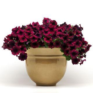 Easy Wave® Burgundy Velour Petunia Seeds Image