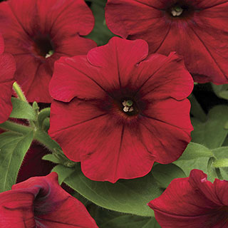 Easy Wave® Red Velour Petunia Seeds