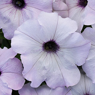 Easy Wave® Silver Hybrid Petunia Seeds