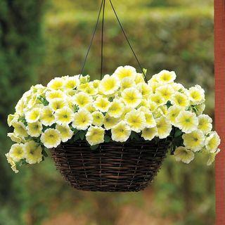 Easy Wave® Yellow Hybrid Petunia Seeds