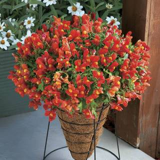 Candy Showers Orange Snapdragon Seeds