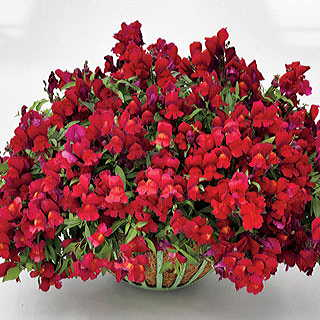 Candy Showers Red Snapdragon Seeds