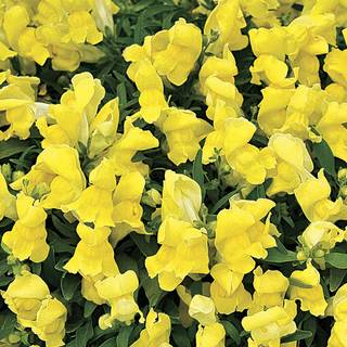 Candy Showers Yellow Snapdragon Seeds