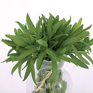 Organic Mexican Tarragon Seeds