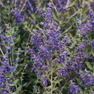 Blue Steel Russian Sage Seeds