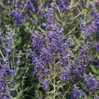 Blue Steel Russian Sage Seeds