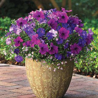 Healing Waters Petunia-Bacopa Fuseable® Seeds