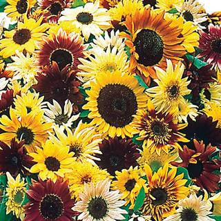 Monets Palette Mix Sunflower Seeds