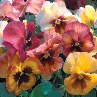 Mariposa Peach Shades Pansy Seeds