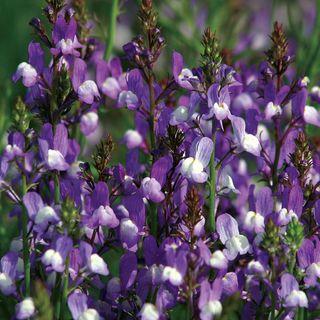 Licilia Azure False Snapdragon Seeds