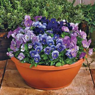 Admire® Blackberry Mix Viola Seeds