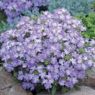 Tuscany® Lavender Picotee Verbena Seeds