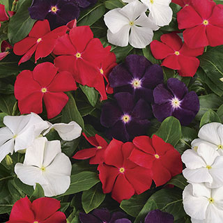 Jams N Jellies American Pie Mix Vinca Seeds