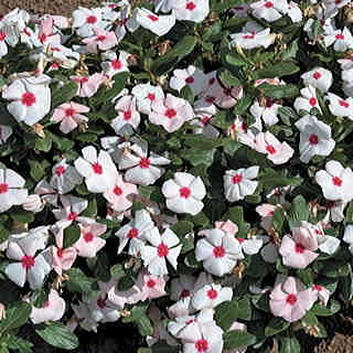 Cora Apricot Vinca Flower Seeds