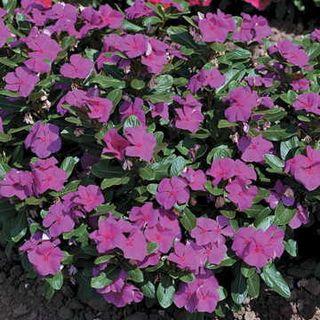Cora™ Violet Vinca Flower Seeds