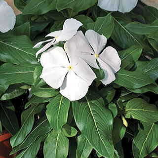 Cora™ White Vinca Flower Seeds