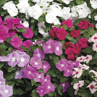 Cora™ Mix Vinca Flower Seeds