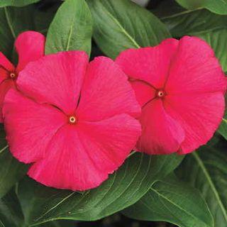 Cora™ Punch Vinca Flower Seeds