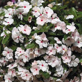 Cora® Cascade™ Peach Blush Vinca Flower Seeds