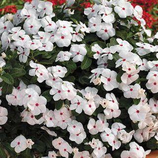 Cora Cascade Polka Dot Vinca Flower Seeds