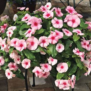 Cora 174 Cascade Strawberry Vinca Seeds From Park Seed