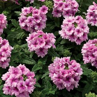 Tuscany® Orchid Frost Verbena Seeds
