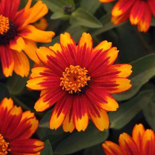 Zahara Sunburst Zinnia Seeds