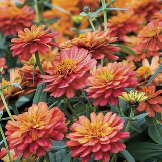 Zinnia Profusion Double Deep Salmon Seeds