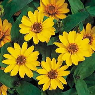 Profusion Yellow Zinnia Seeds