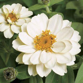 Profusion Double White Zinnia Seeds