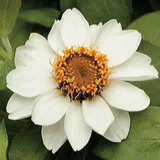 Zahara White Zinnia Seeds