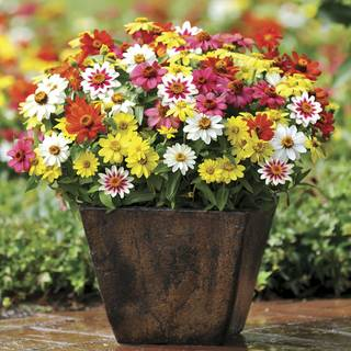 Zahara Mix Zinnia Seeds