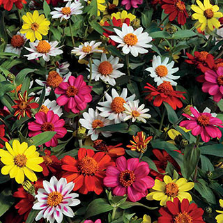 Zahara® Mix Zinnia Seeds