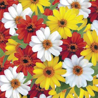 Profusion Sunrise Mix Zinnia Seeds