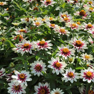 Zahara® Starlight Rose Zinnia Seeds