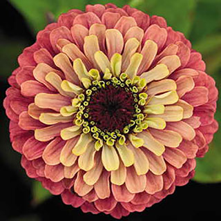 Queen Red Lime Zinnia Seeds