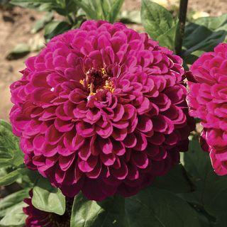 Tudor Zinnia Seeds