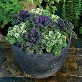 Yokohama Ornamental Kale Seeds