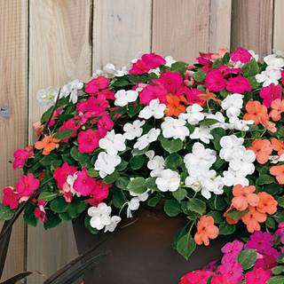Shady Lady II Hybrid Mix Impatiens Seeds