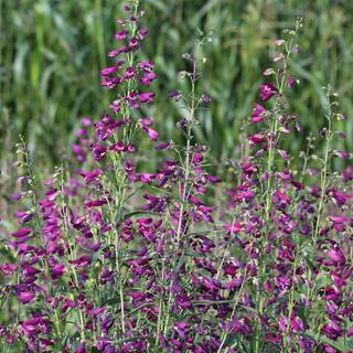 Twizzle Purple Penstemon Seeds