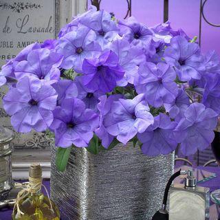 Evening Scentsation™ Petunia Seeds