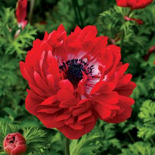 Harmony Double Scarlet Anemone Seeds From Park Seed