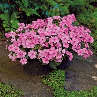 Shady Lady II Pink Hybrid Impatiens Seeds