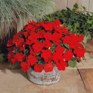 Shady Lady II Cherry Red Hybrid Impatiens Seeds