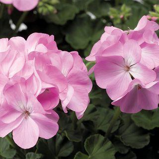 Pinto™ Premium Lavender Geranium Seeds