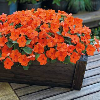 Shady Lady II Orange Hybrid Impatiens Seeds